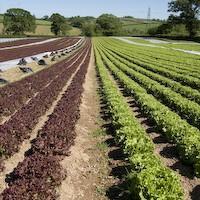 Pic of Braised lettuce