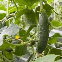 Pic of Marinated cucumber salad
