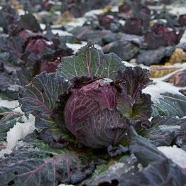 Pic of Cabbage with bacon and juniper