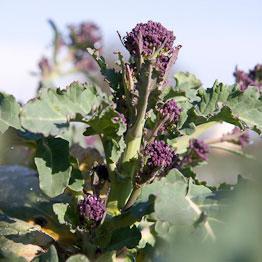 Pic of Purple sprouting broccoli pasta with gremolata