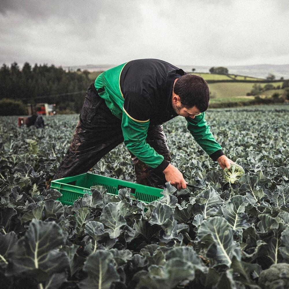 Lloyd Stone picking Broccoli on his farm near Ashburton, Devon