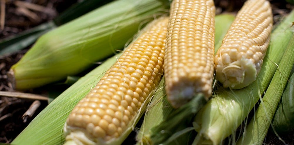 Image of Sweetcorn being produced