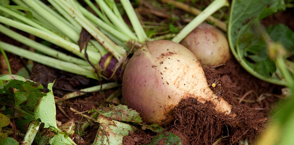 Image of Swede being produced
