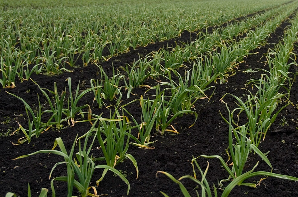 Image of Wet garlic being produced