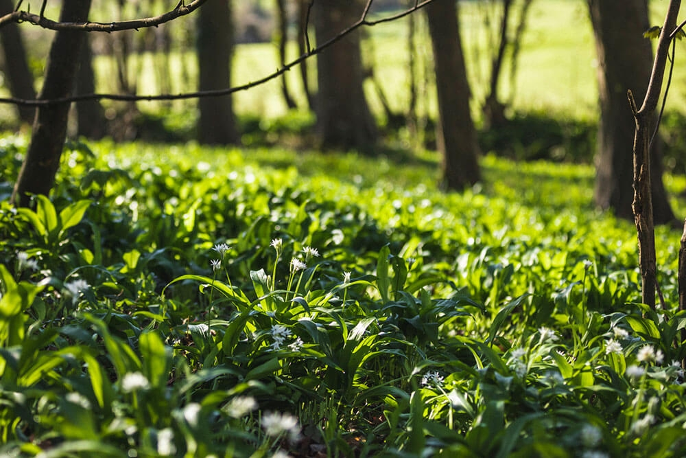 Image of Wild garlic being produced