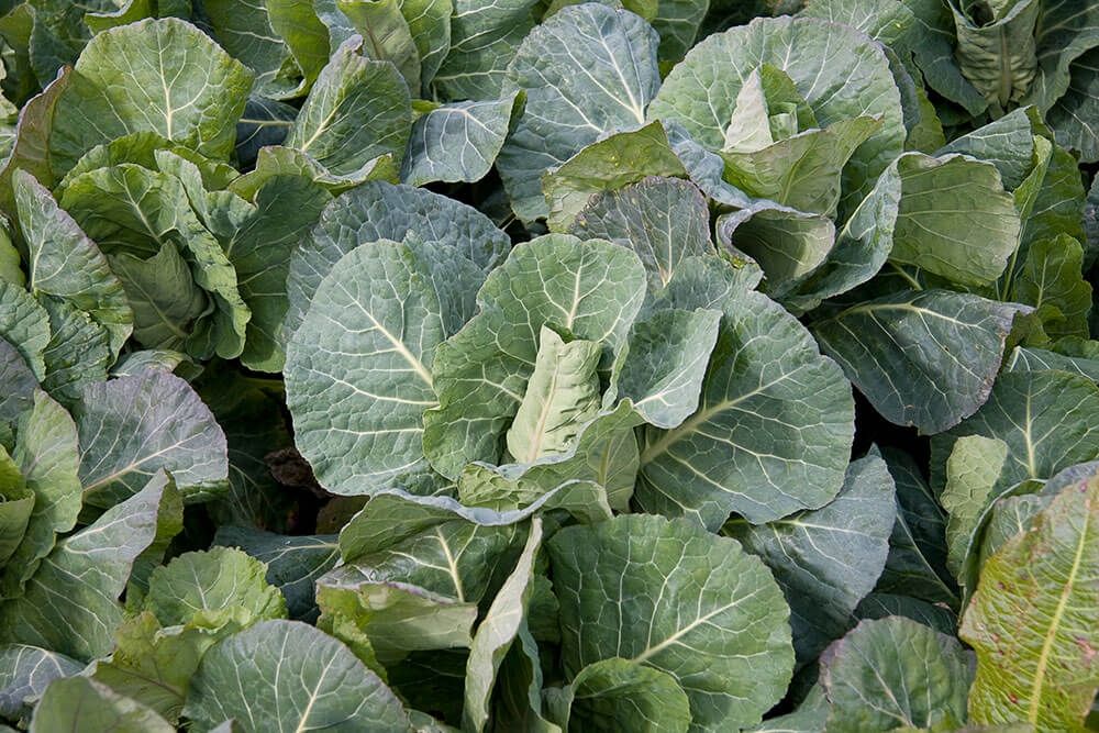 Image of Spring and summer greens being produced