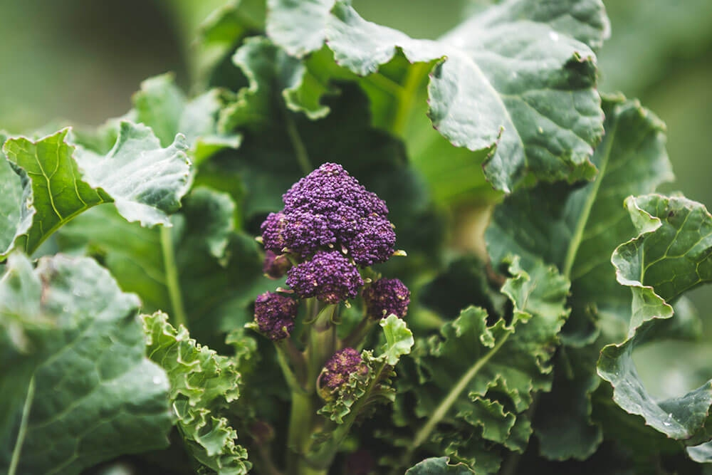 Image of Purple sprouting broccoli being produced