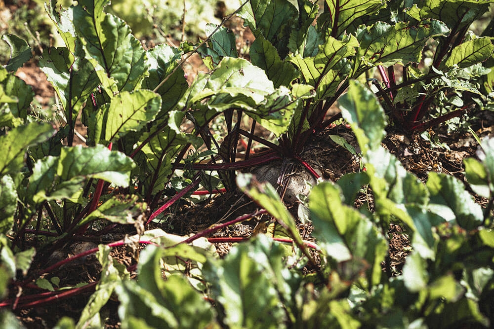 Image of Beetroot being produced