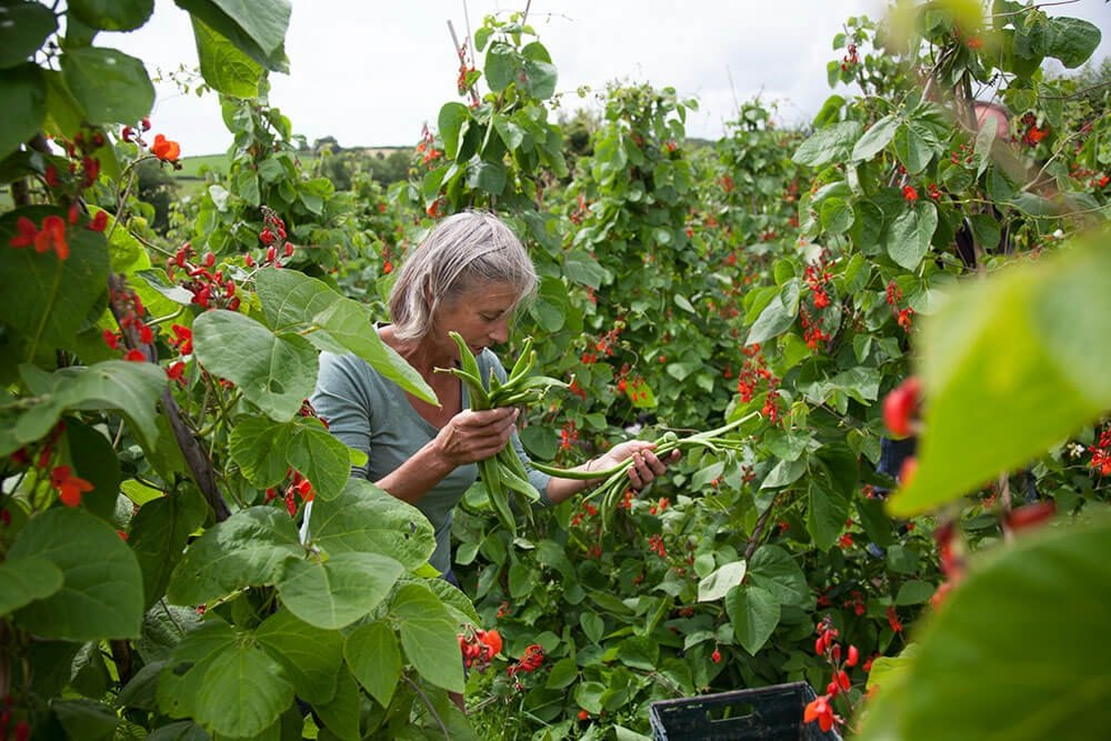 Image of Runner beans being produced