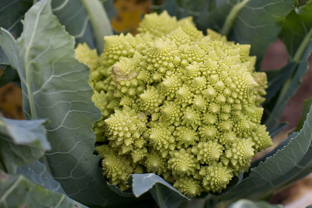 Image of Romanesco being produced