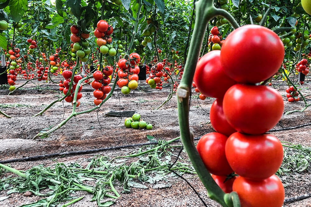 Image of Tomato being produced