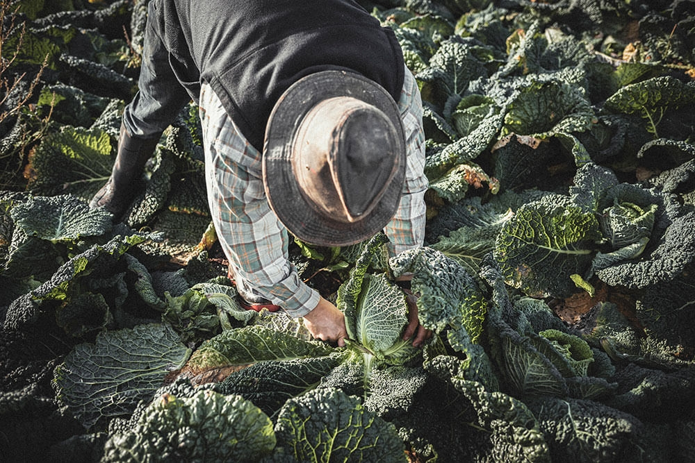 Image of Cabbage being produced