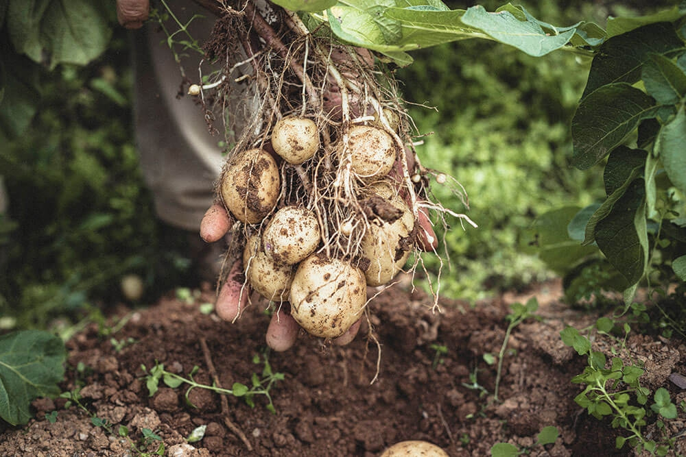 Image of Potato being produced