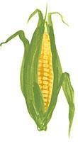 Hand drawn image of Sweetcorn