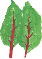 Hand drawn image of Chard