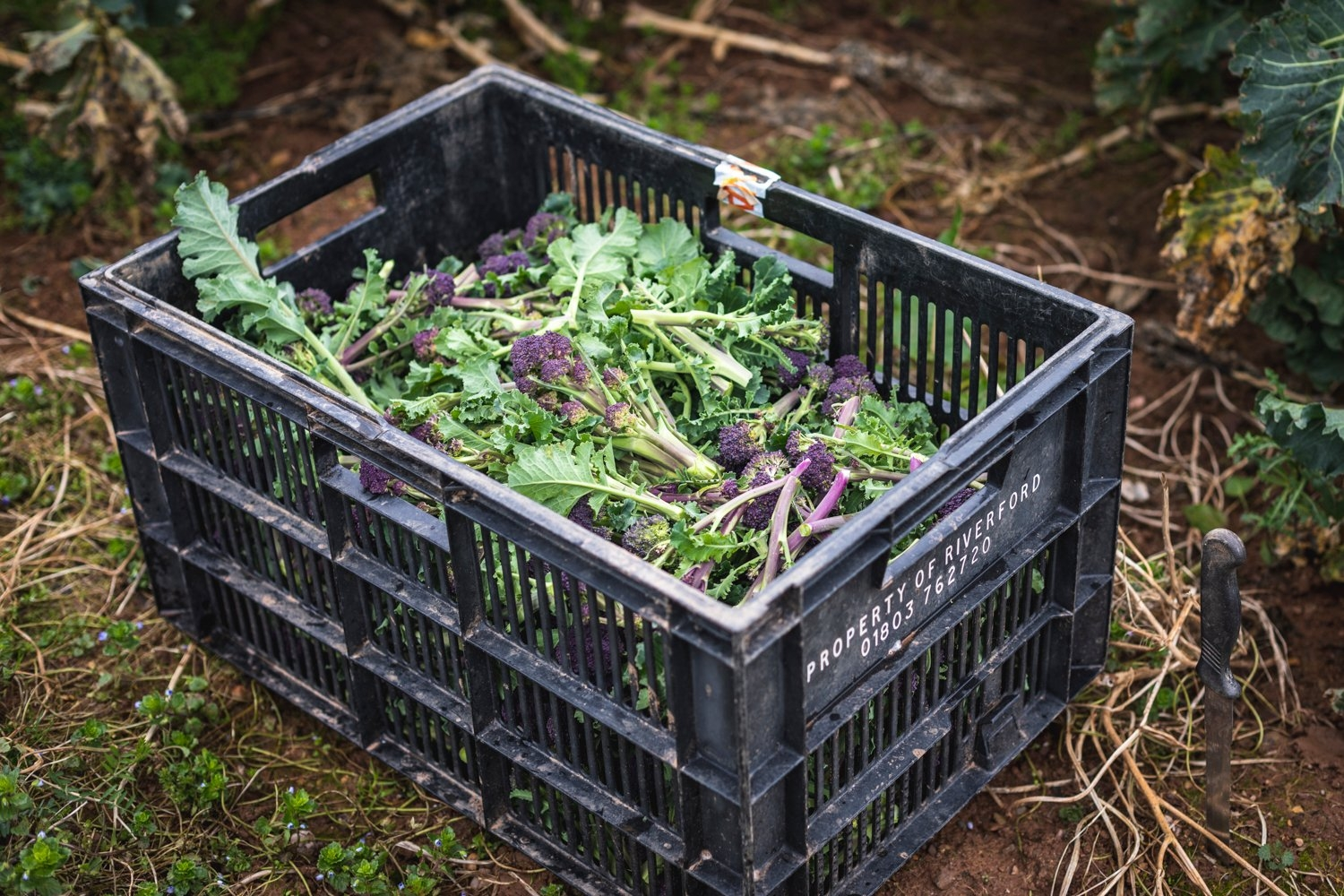 Freshly picked organic purple sprouting broccoli