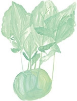 Hand drawn image of Kohlrabi