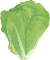 Hand drawn image of Lettuce