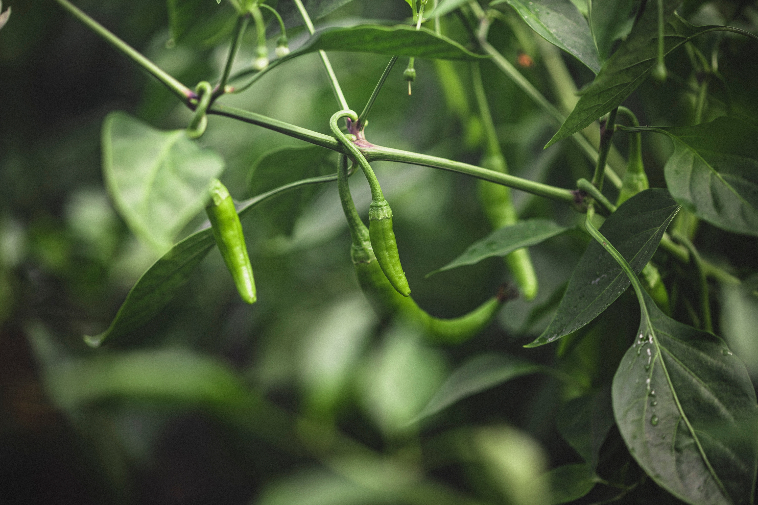 Chillies growing in polytunnels at Upper Norton Farm, Hampshire, UK