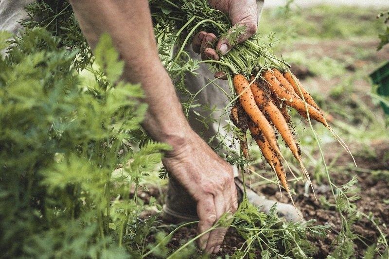 Freshly picked organic carrots