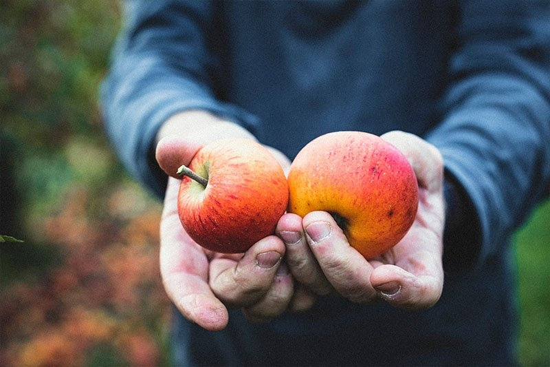 >Apple grower Paul Ward shows two of his organic apples.