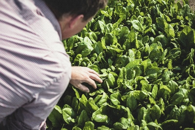 Picking organic spinach in the fields