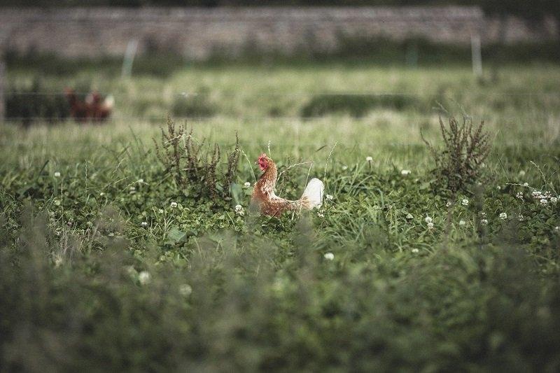 Harry's hens roam freely in their fields.
