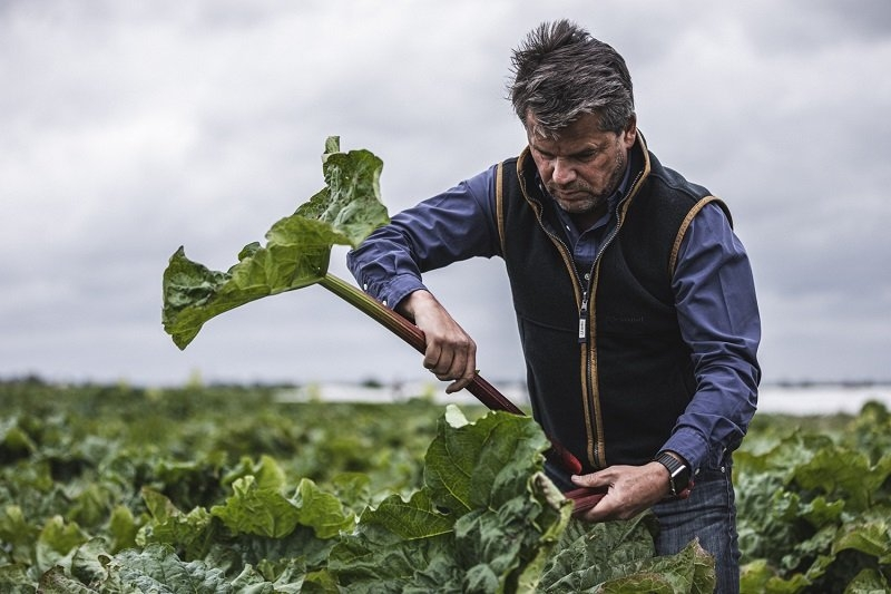 Clive picking organic Rhubarb from his fields
