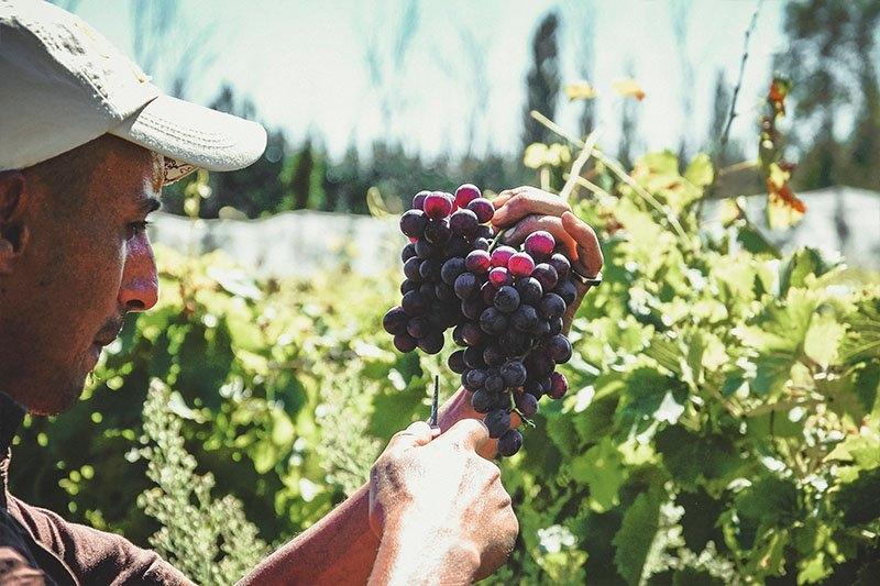 A ProNatura farmer inspecting a bunch of grapes.